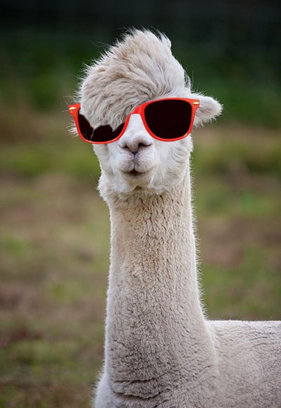 Leroy the hipster llama